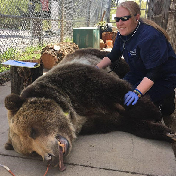 Jessie May McCleary using a stethoscope on a sedated bear in a Bear Center enclosure.