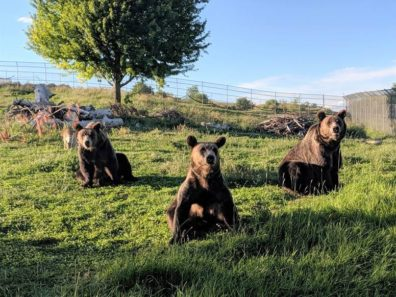 Three bears basking in the sun in the outdoor enclosure.