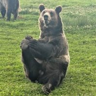 A bear sitting on its hind end stretching its back leg with front paws.