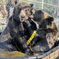 Dodge and Zuri, grizzly bear siblings, playing in the pool.