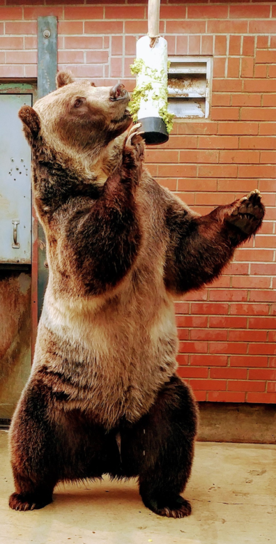 John grizzly bear standing and eating guacamole off of enrichment item.