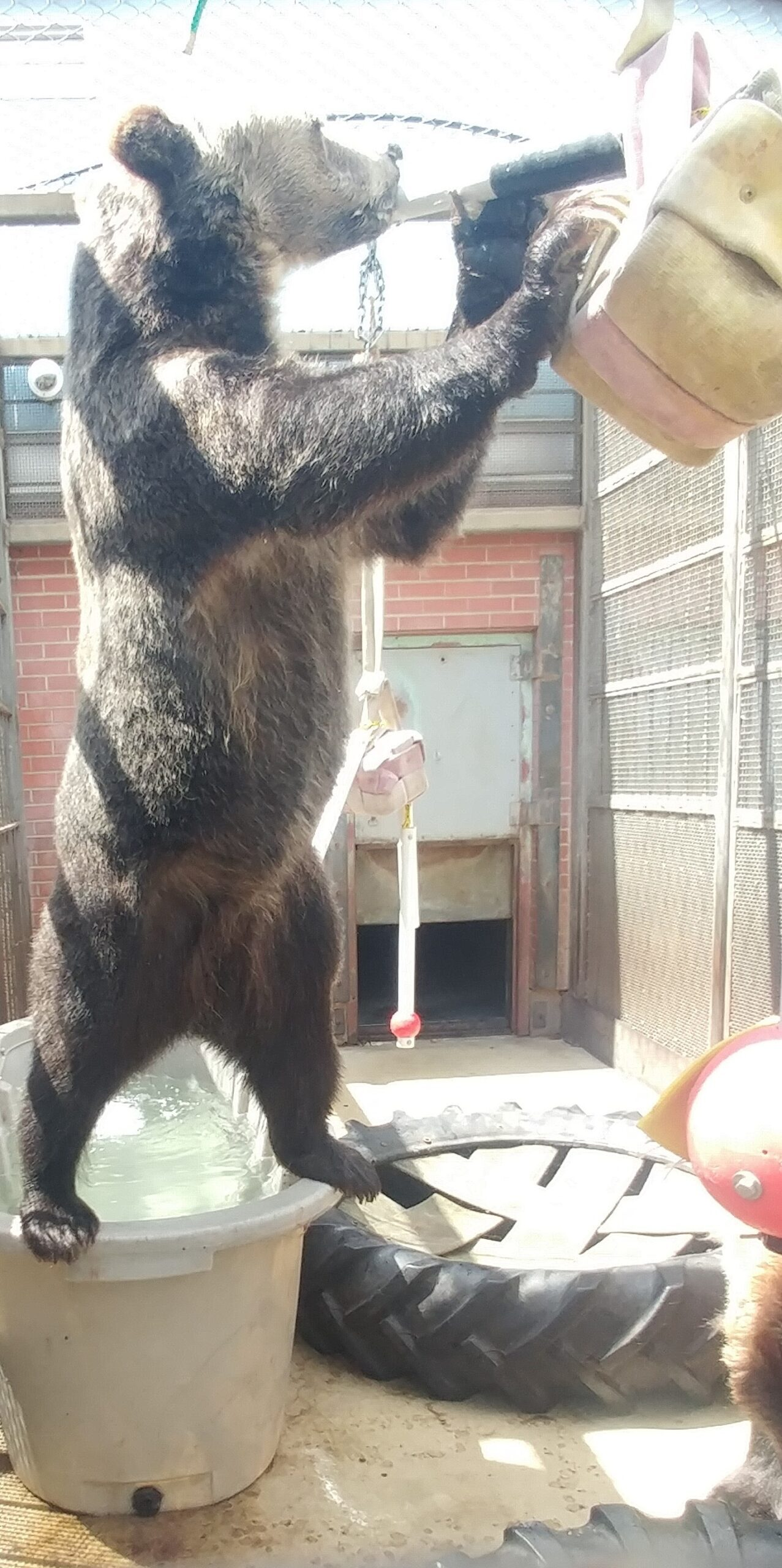 Oakley standing on tub to reach enrichment item