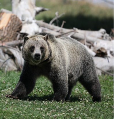 Grizzly bear Willow walking in the yard.