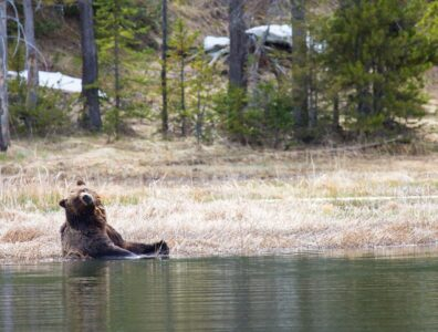 grizzly bear cooling down in water