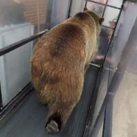 grizzly bear at WSU walking on metabolic treadmill