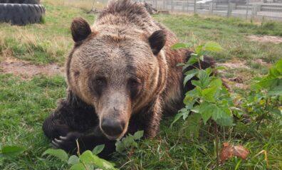 Zuri bear lying in yard on her belly.