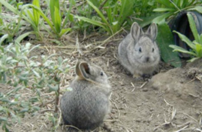 two pygmy rabbits
