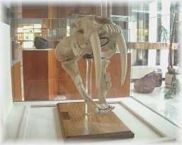 Sabor cat fossil
