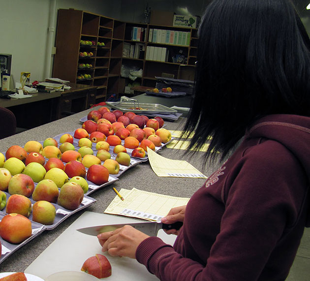A woman slices apples in a lab