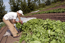 Students working at a row of lettuce.