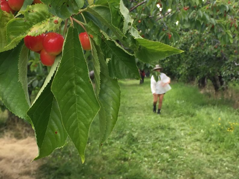 A cherry orchard