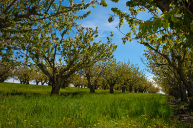 Rows of trees in bloom in spring at the Tukey Horticultural Orchard.