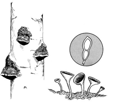 Line drawings of mushrooms