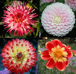 Four photos of dahlias