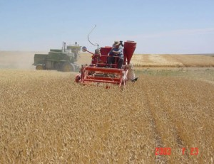 This is an image of harvesting with at plot combine.