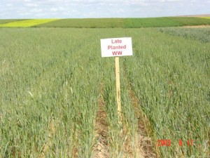 This is an image of late planted winter wheat.