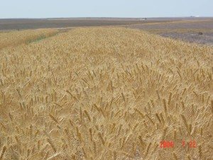 This is an image of a wheat field.