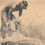 This is an image of Terry Fode harvesting end rows of nursery plots.