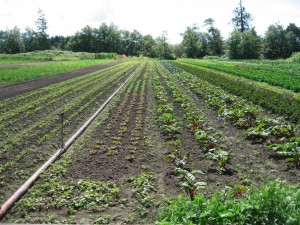 A well laid out row crop vegetable plot.
