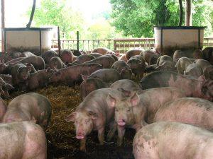14-swine-kuber-edit