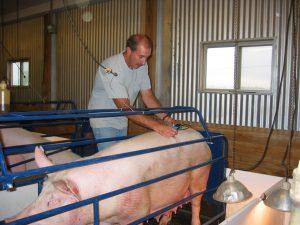 16-swine-kuber