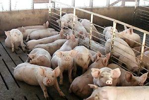 17-swine-kuber-edit