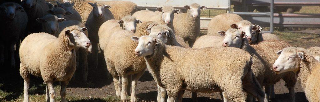 6-sheep-kuber-edit