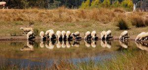 8-sheep-kuber-edit