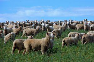 9-sheep-kuber-edit