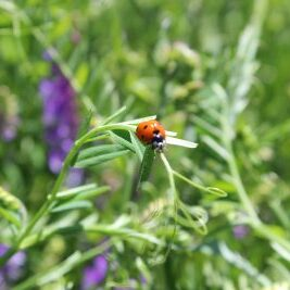 A lady bug on cover crop