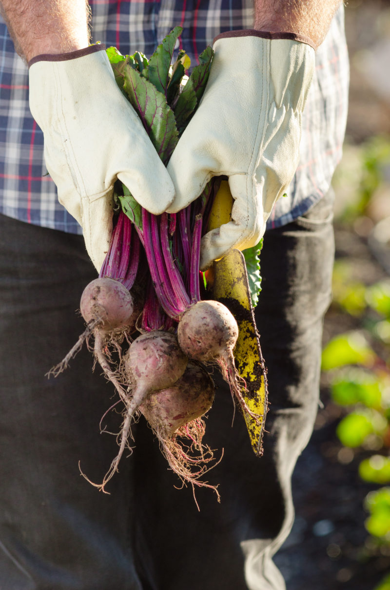 Gloved hands holding beets