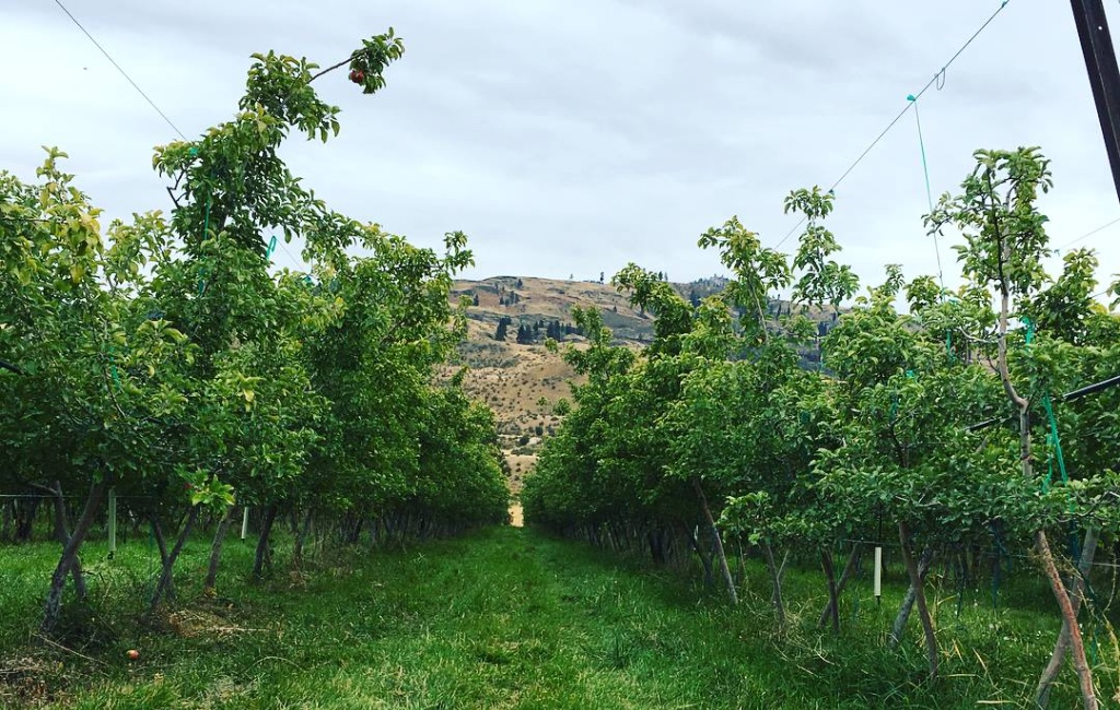 A row of trees in an orchard
