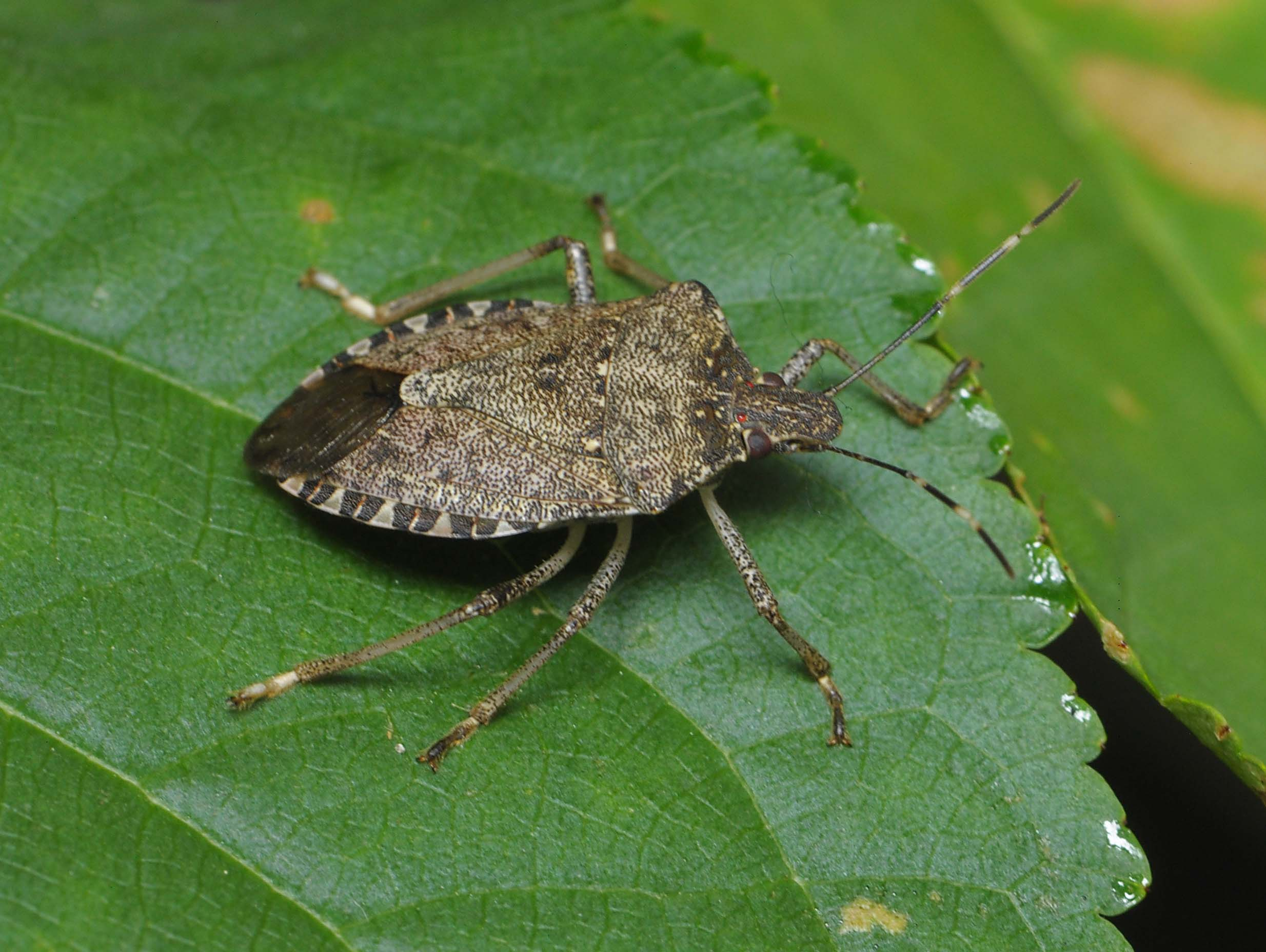brown stink bug on leaf