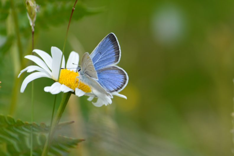 A blue and white butterfly on a white flower.