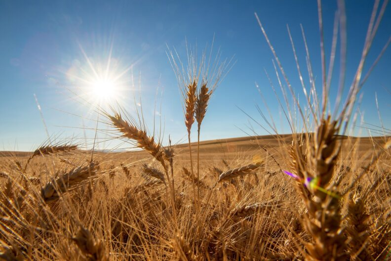 Picturesque wheat in the Palouse. Photo courtesy of Robert Hubner WSU Photo Services.