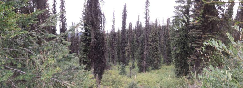 Spruce beetle outbreak