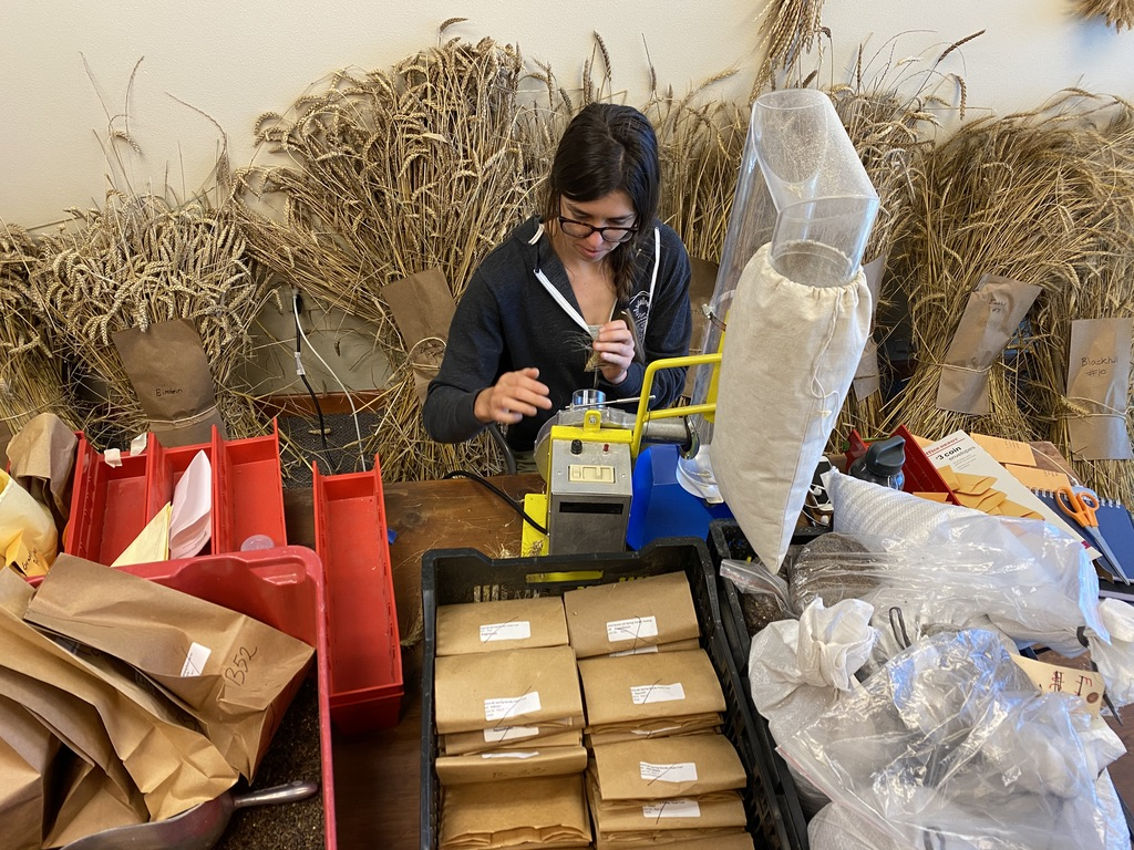 PhD student Merri Metcalfe threshes single wheat heads in a room full of wheat.