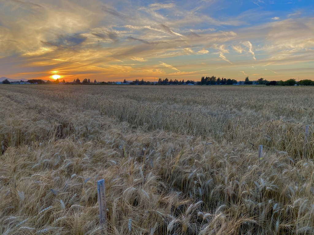 Wheat test plots at sunset near harvest time.