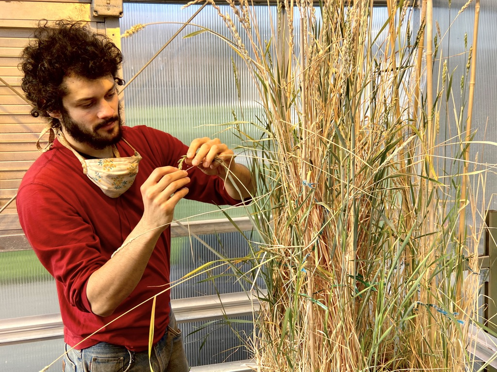 PhD student Robin Morgan inspects a wheat plant in the greenhouse.