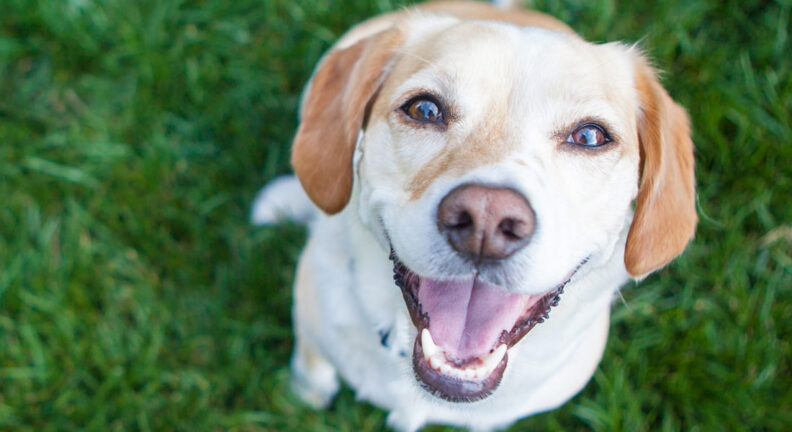 Smiling dog sitting on grass, looking at camera.