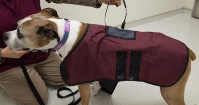 Vest being put on dog.