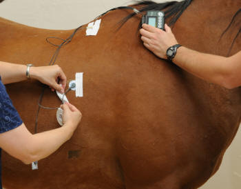 Electrodes being attached to right side of horse, with 2 pieces of tape being applied to secure.