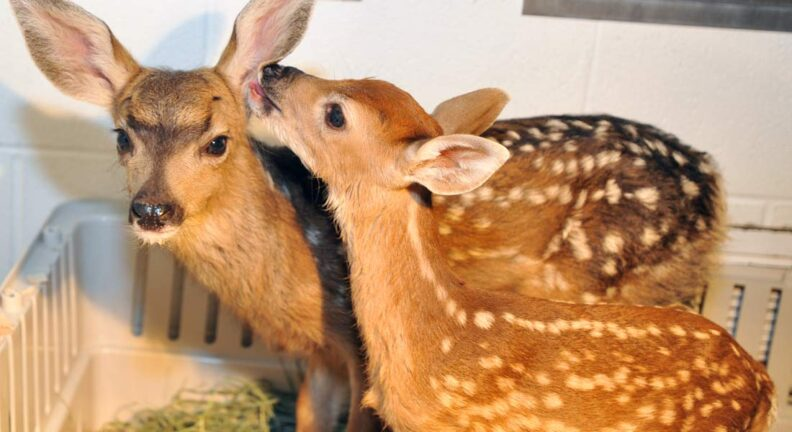 Two fawns under the care of WSU's exotic staff.