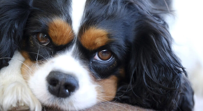 Close-up image of spaniel's face
