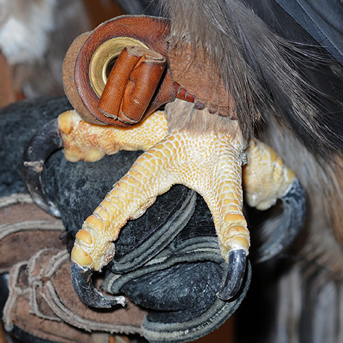 Close up of Amicus's foot and claws.