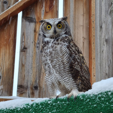 Great Horned owl on ledge in Raptor Facility before it is released.