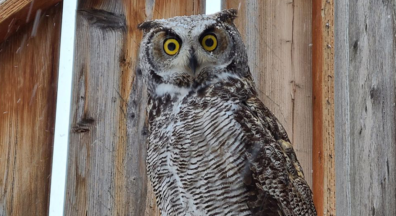 http://Great%20Horned%20owl%20on%20ledge%20in%20Raptor%20Facility%20before%20it%20is%20released.
