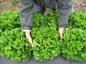 Lettuce grown through holes in biodegradable mulch ready for harvest.