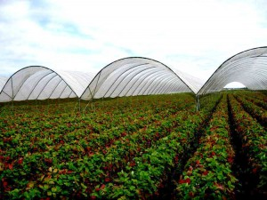 Strawberries growing under high tunnels