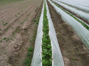 Bok choy growing under low tunnels